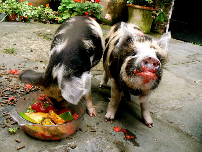 Kune Kunes eating their body weight in mangos and pinapples ...
